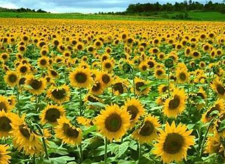 万亩油菜花、向日葵村旅游基地项目