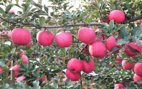 威宁县高山精品苹果种植基地建设项目