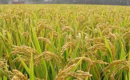 河池市富硒有机稻米产业开发项目