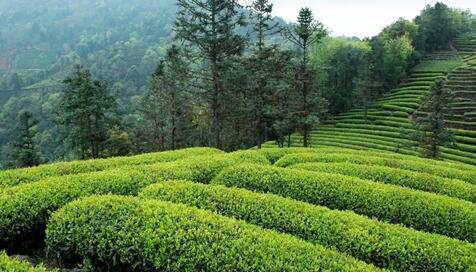泸州市中国特早茶庄园群落建设项目