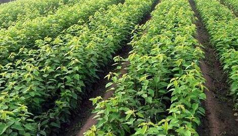 澜沧安康林下中药材种植开发项目