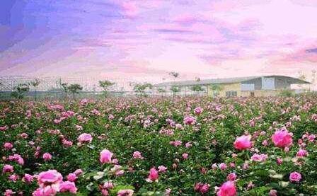 苦水玫瑰浪漫小镇建设项目