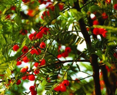 道真县三尖杉种植及紫杉醇提取项目