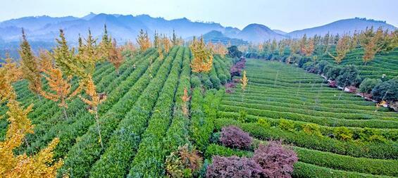 鹿寨县大乐岭有机茶休闲农业示范园建设项目
