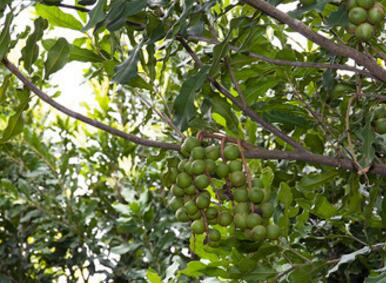 龙州县8万亩澳洲坚果种植示范基地项目